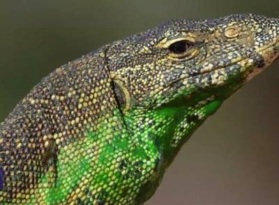 News video: Invasive Lizards in Florida Are Eating People's Cats